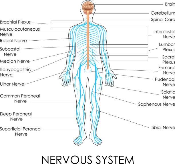 Menschliches Nervensystem Vektorgrafiken und Illustrationen - iStock