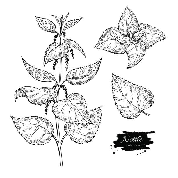 Nettle vector drawing. Isolated medical plant with  leaves. Herbal engraved style illustration. Nettle vector drawing. Isolated medical plant with  leaves. Herbal engraved style illustration. Detailed botanical sketch for tea, organic cosmetic, medicine, aromatherapy stinging nettle stock illustrations