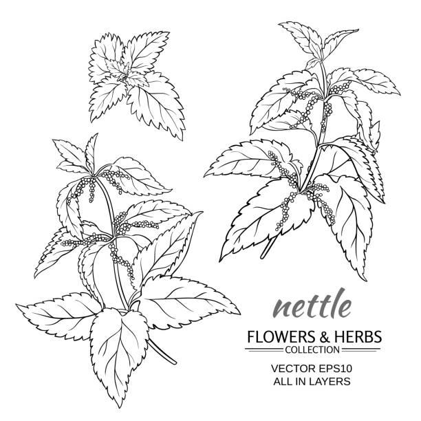 nettle vector set nettle plant vector set on white background stinging nettle stock illustrations