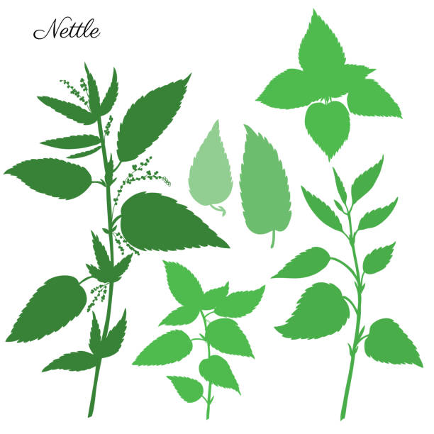 Nettle wild field flower isolated on white background botanical hand drawn vector illustration, Urtica dioica silhouette for design package tea, organic cosmetic, natural medicine, greeting card Nettle wild field flower isolated on white background botanical hand drawn vector illustration, Urtica dioica silhouette for design package tea, organic cosmetic, natural medicine, greeting card stinging nettle stock illustrations