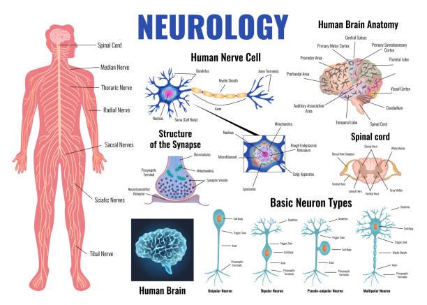Neurology And Human Brain Set Neurology and human brain anatomy set flat isolated vector illustration nerve fiber stock illustrations