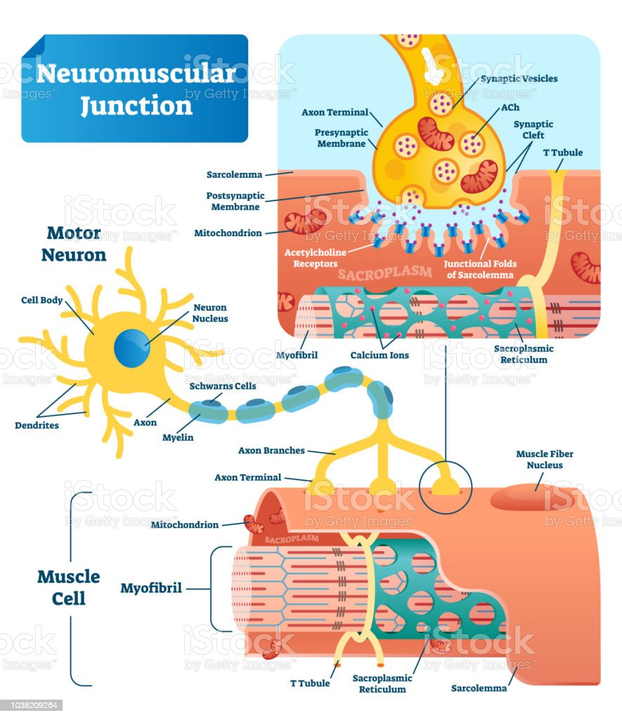 Neuromuscular Junction Vector Illustration Scheme Labeled ...