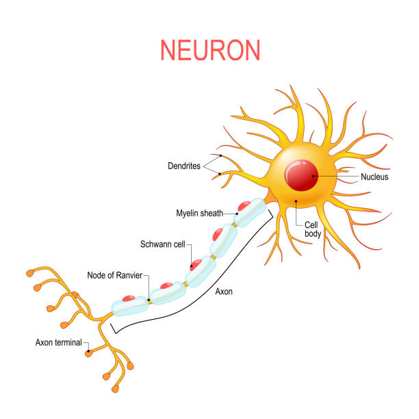 Neuron anatomy. Structure of a nerve cell Neuron anatomy. Structure of a nerve cell. Vector diagram for educational, medical, biological and science use neural axon stock illustrations