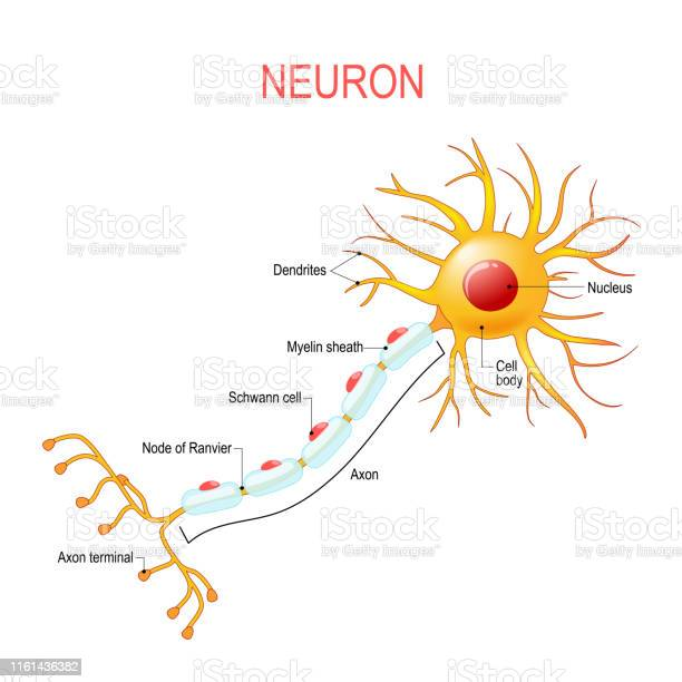 Neuron Anatomy Structure Of A Nerve Cell Stock Illustration - Download Image Now