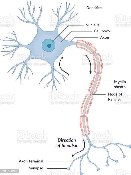 Neuron Diagram Stock Illustration - Download Image Now