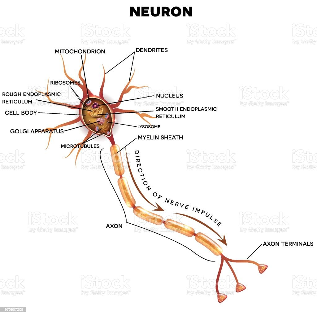 Neuron Nerve Cell Anatomy Stock Vector Art & More Images of Anatomy ...