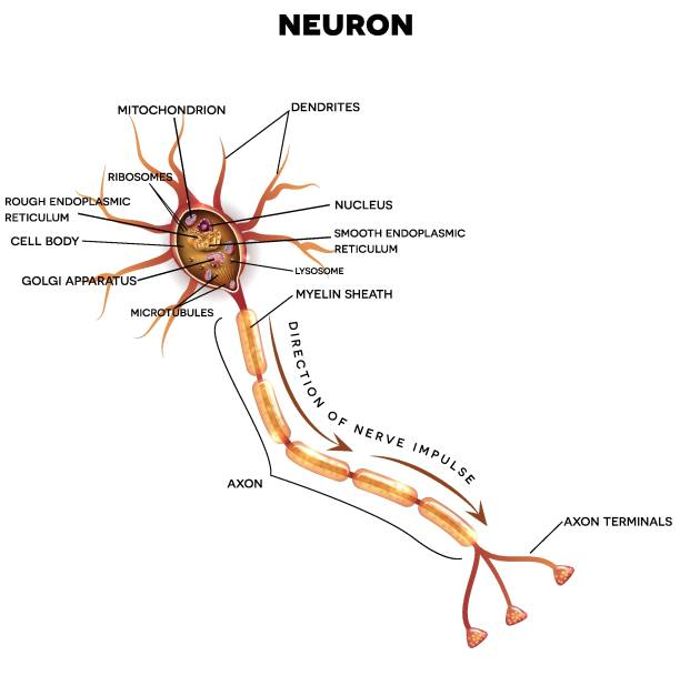 Neuron, nerve cell anatomy Neuron, nerve cell that is the main part of the nervous system. Cross section detailed anatomy, nucleus and other organelles of the cell. neural axon stock illustrations
