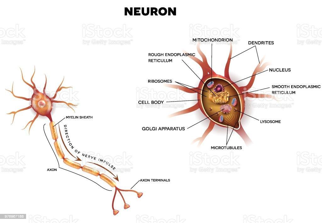Neuron Nervenzelle In Der Nähe Von Anatomie Stock Vektor Art und ...