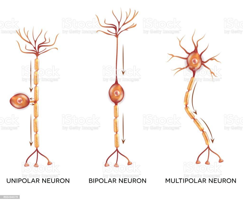 Neuron Types Stock Vektor Art und mehr Bilder von Anatomie 653494076 ...