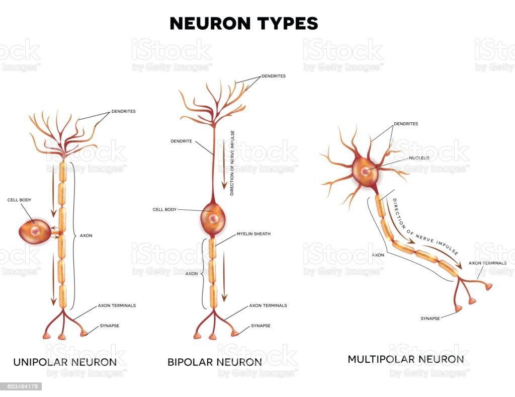 Neuron Types Stock Vektor Art und mehr Bilder von Anatomie 653494178 ...