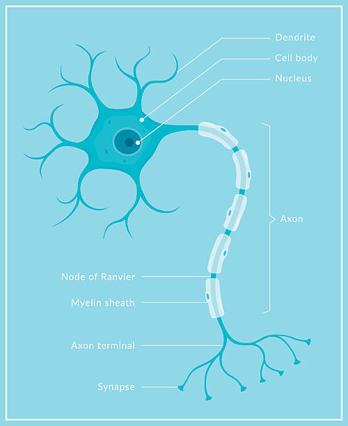 Neuron A diagram of a typical human brain cell (neuron) with different parts labelled. This is an editable EPS 10 vector illustration with CMYK color space. neural axon stock illustrations
