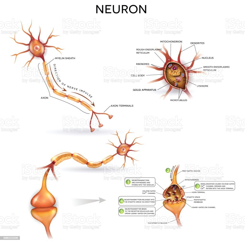 Neuron Stock Vector Art & More Images of Anatomy 696202536 | iStock