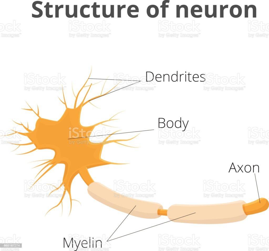 Ilustración de Ilustración De Vector De La Neurona Estructura De La ...