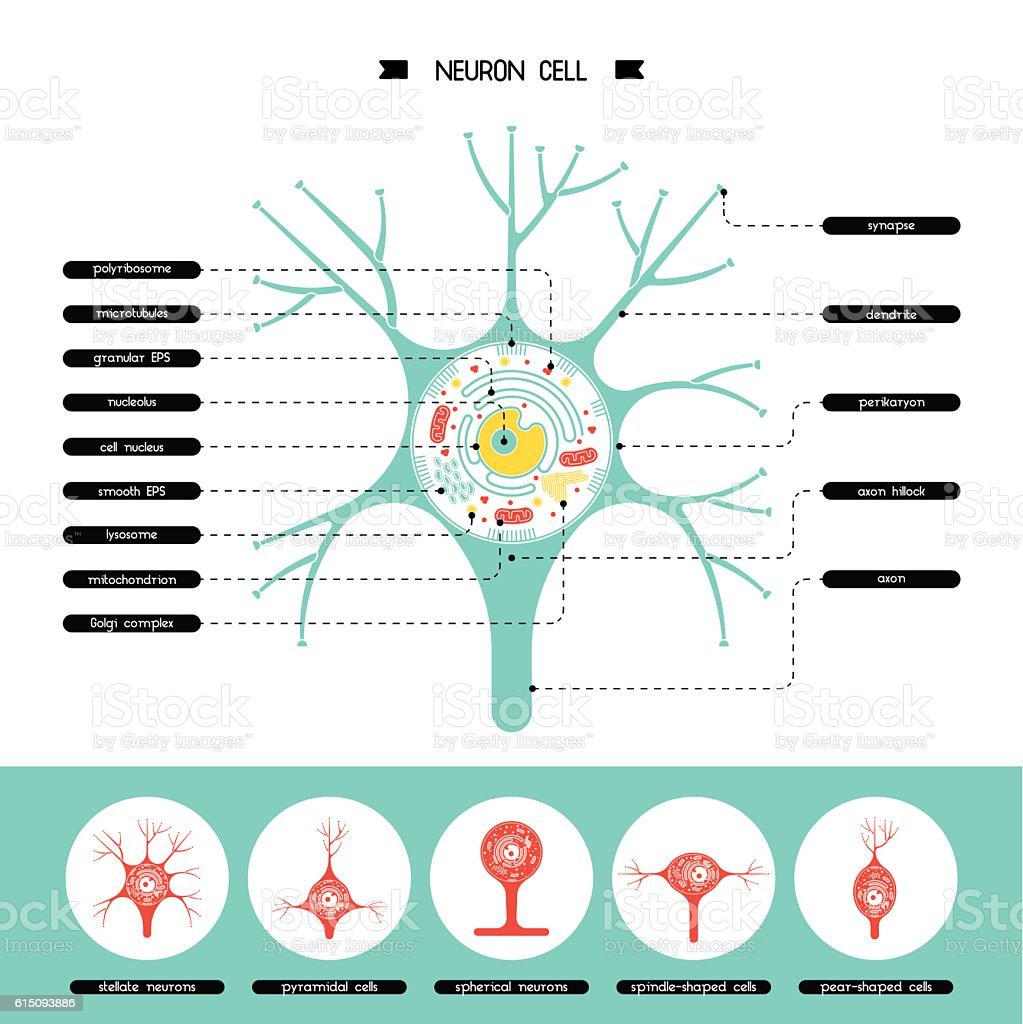 neurone cell structure vector art illustration