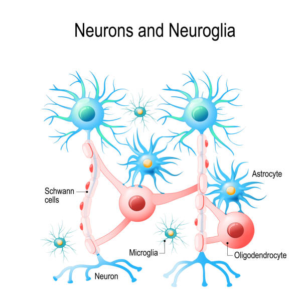 Neurons and non-neuronal cells in brain. Neurons and non-neuronal cells in brain. oligodendrocyte, microglia, astrocytes and Schwann cells. Vector diagram for educational, medical, biological and science use neurodegenerative disease stock illustrations