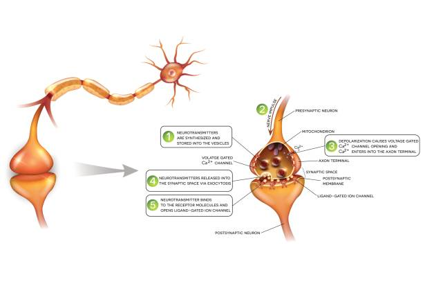 Neurotransmitter Vector Art, Icons, and Graphics