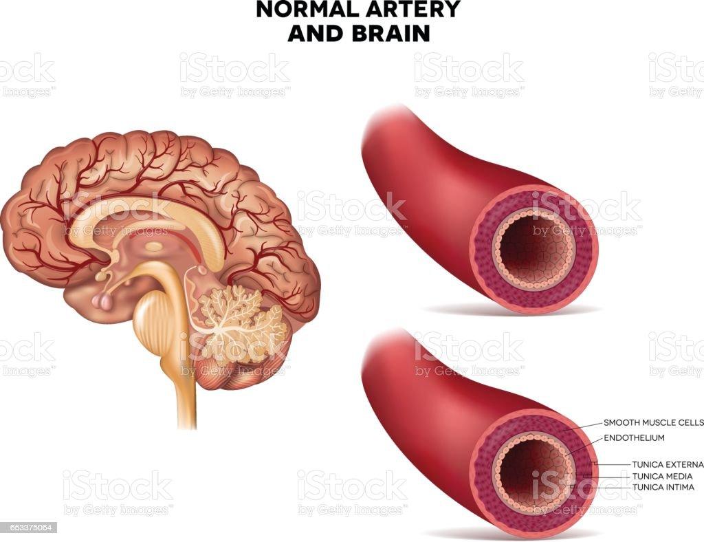 Ilustración de Cerebro Y Estructura Normal De La Arteria y más banco ...