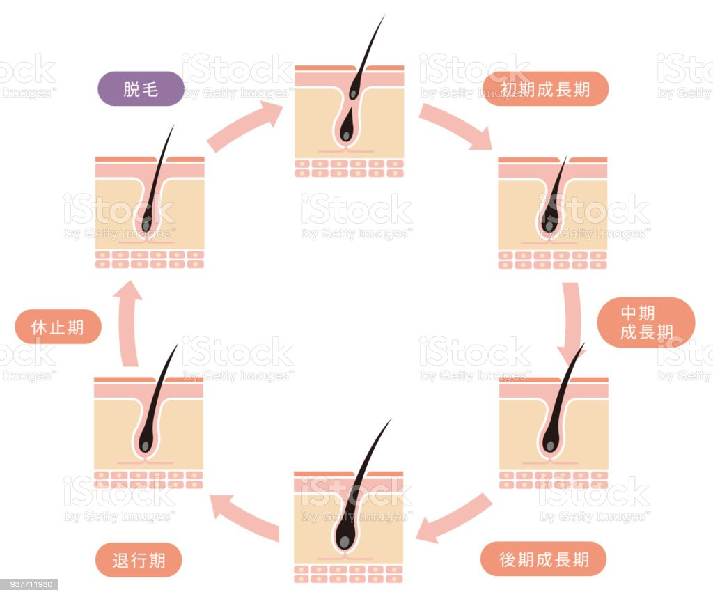 Normal Hair Cycle Illustration Stock Vector Art & More Images of ...