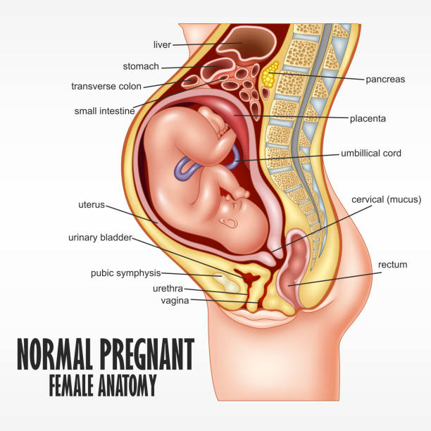 Normal Pregnant female anatomy Vector Illustration Of Normal Pregnant female anatomy uterus stock illustrations