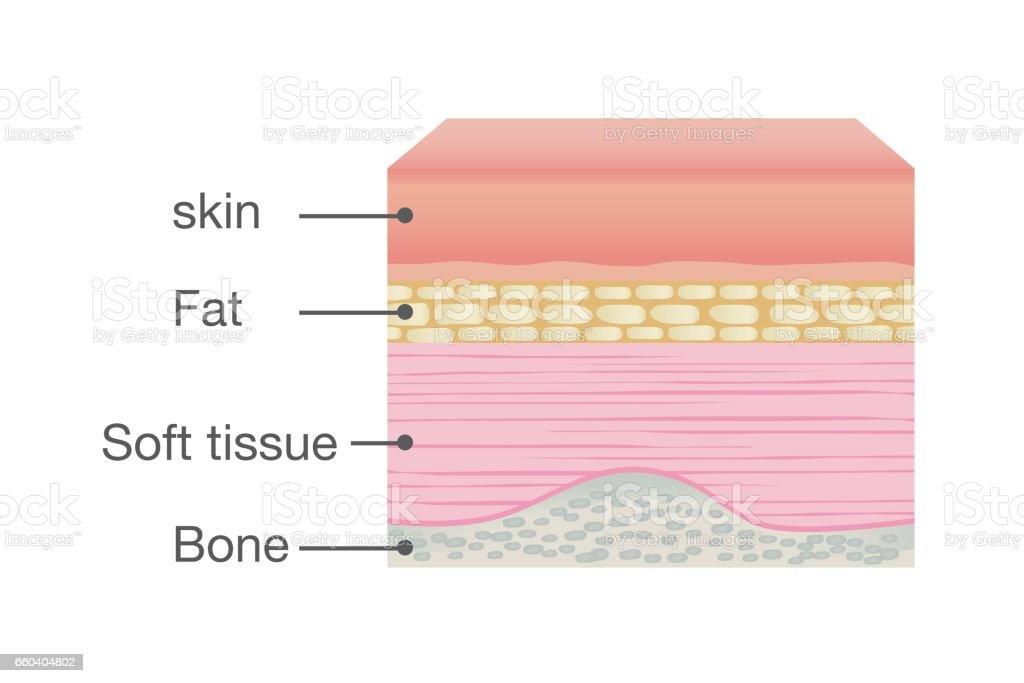 Normal Skin Anatomy of Human. vector art illustration
