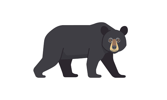 North American native animal Black Bear (Ursus americanus) walking in side angle view, flat style vector illustration isolated on white background