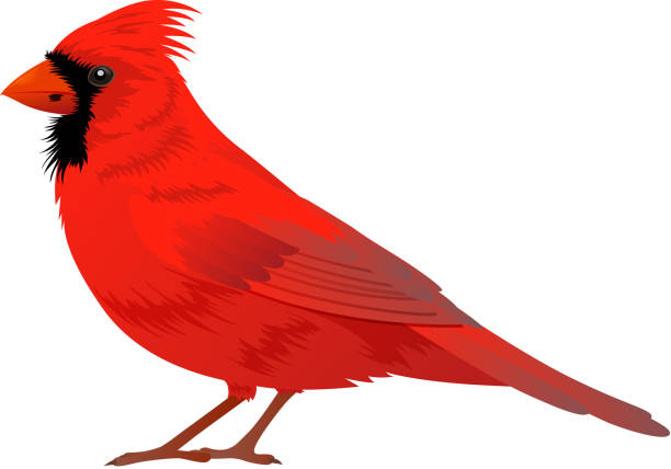Royalty Free Northern Cardinal Clip Art, Vector Images ...