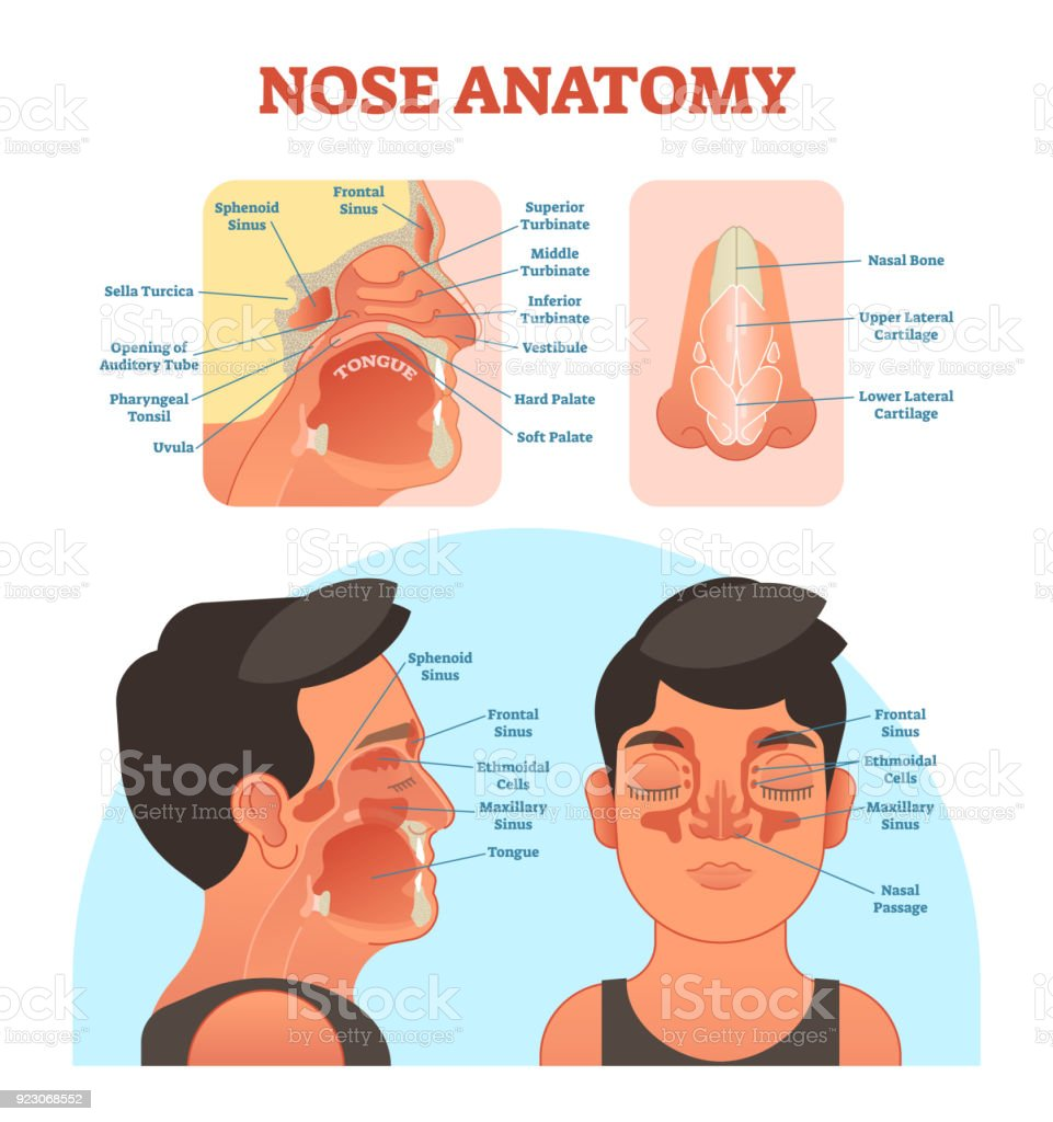 Nose Anatomy Medical Vector Illustration Diagram Stock Vector Art ...