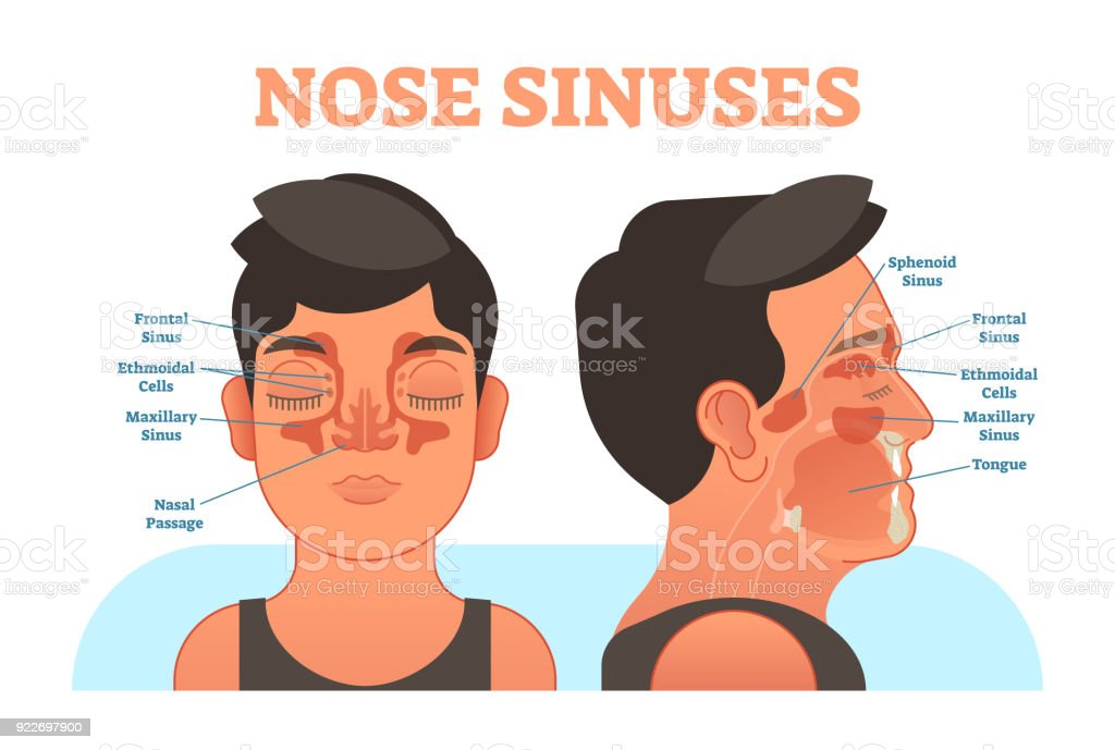 Nose Sinuses Anatomical Vector Illustration Cross Section Stock ...