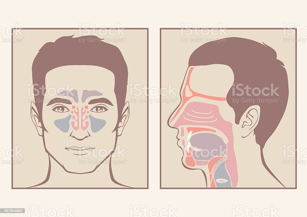nose, throat anatomy - Royalty-free 2015 vectorkunst