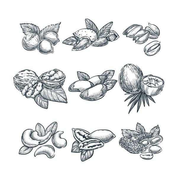 ilustraciones, imágenes clip art, dibujos animados e iconos de stock de tuercas de vector ilustración de esbozo. súper alimento comer conjunto dibujado a mano. nuez, almendras, avellanas, coco, anacardos, cacahuetes - antioxidante