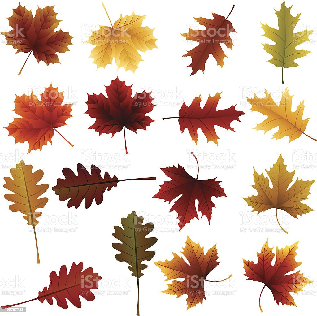 Oak and Maple Leaves royalty-free oak and maple leaves stock vector art & more images of autumn