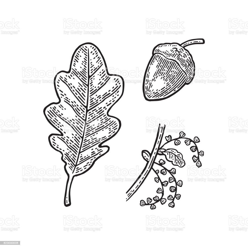 Oak leaf and acorn. Vector vintage engraved illustration.