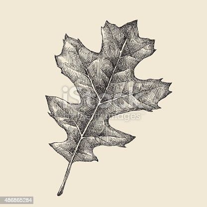 istock Oak Leaf Drawing 486865284