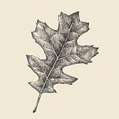 istock Oak Leaf Drawing 486865284