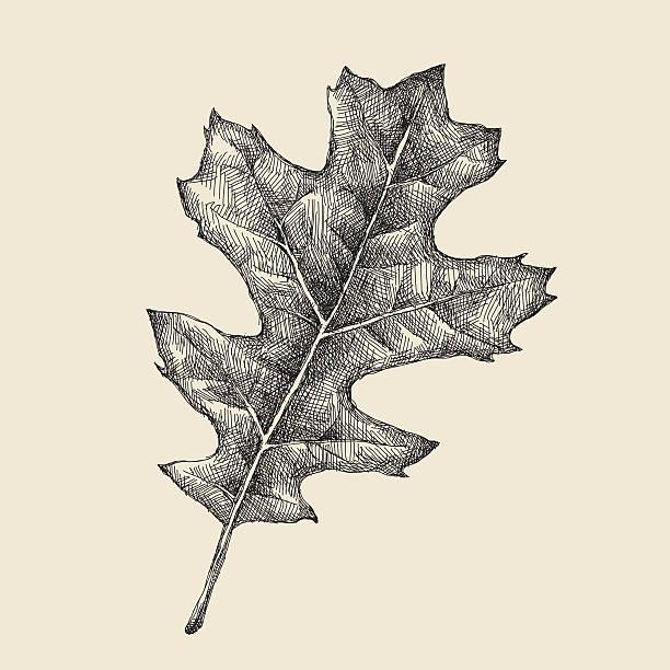 Oak Leaf Drawing Vector illustration of oak leaf. oak leaf stock illustrations