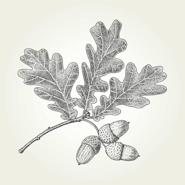 Oak leaves and acorns drawing Autumn vintage vector engraved illustration oak leaf stock illustrations