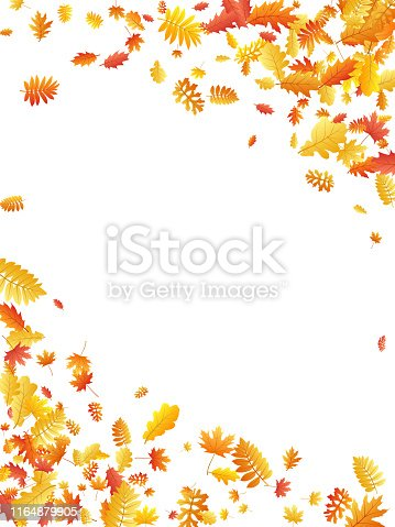 Oak, maple, wild ash rowan leaves vector, autumn foliage on white background. Red orange gold sorbus dry autumn leaves. Bright tree foliage october background graphics.