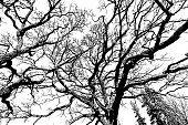 Pen and ink style illustration of oak tree branches background