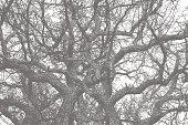 Mezzotint illustration of an Oak tree textured background pattern