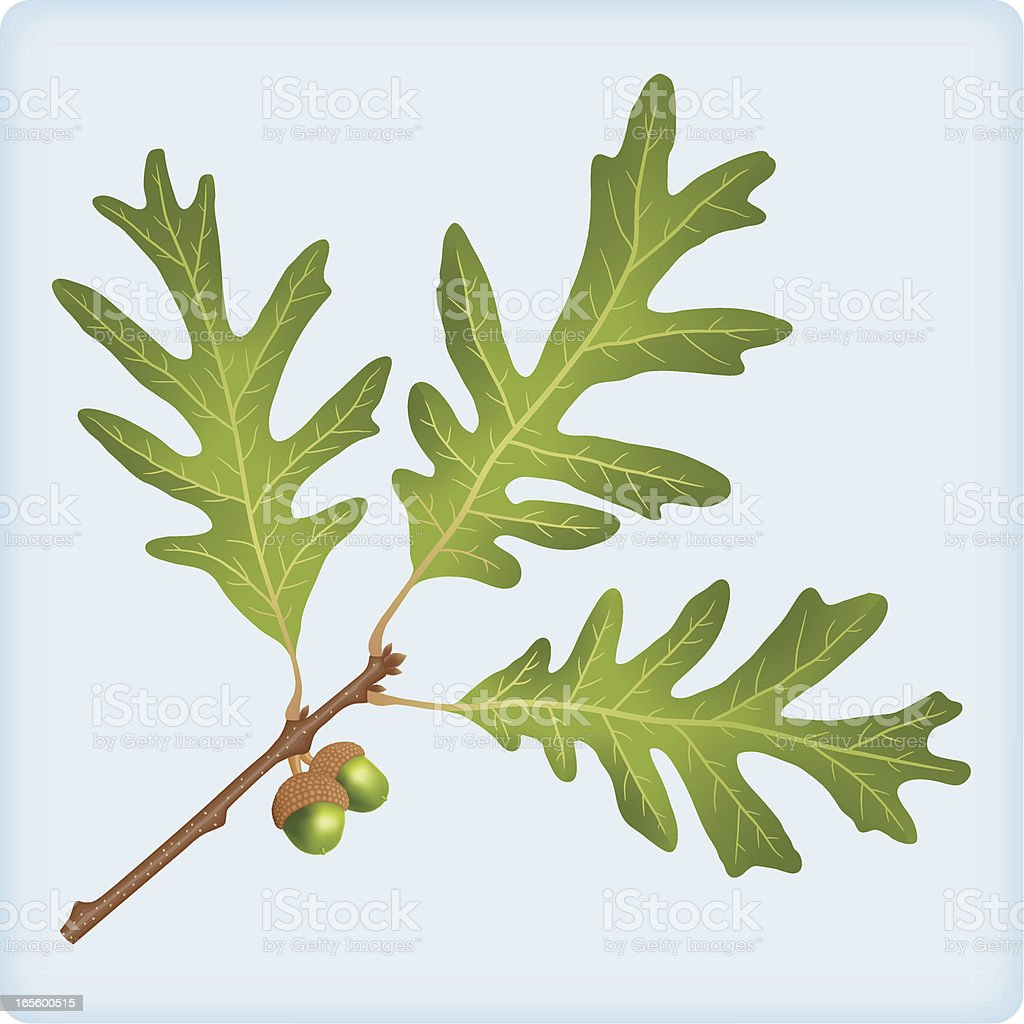 Oak twig with acorns, and leaves royalty-free oak twig with acorns and leaves stock vector art & more images of acorn