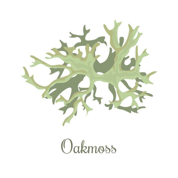 oakmoss or Evernia prunastri. lichen oakmoss or Evernia prunastri. lichen. fragrant compounds, perfume absolutes and fixative, realistic. For cosmetics, health care products, advertising, tag label moss stock illustrations