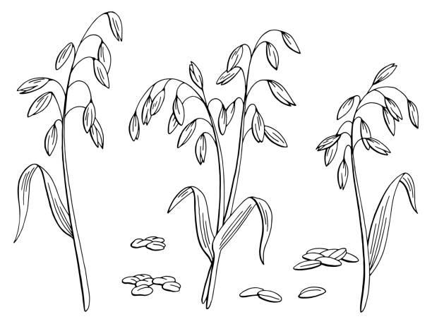 ilustrações de stock, clip art, desenhos animados e ícones de oat plant graphic black white isolated sketch illustration vector - ilustrações de oats
