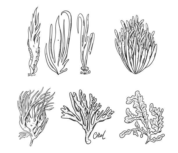 ozeanpflanzen und korallenriff setzen sich ab. handgezeichnete vektorabbildung. - algen stock-grafiken, -clipart, -cartoons und -symbole