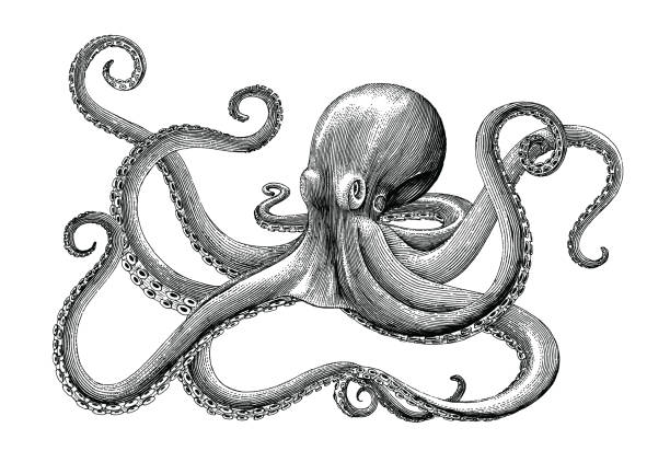 Octopus hand drawing vintage engraving illustration on white backgroud Octopus hand drawing vintage engraving illustration on white backgroud etching stock illustrations