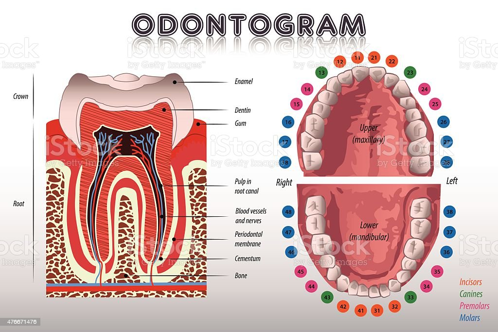 Odontogram. Tooth Diagram vector art illustration