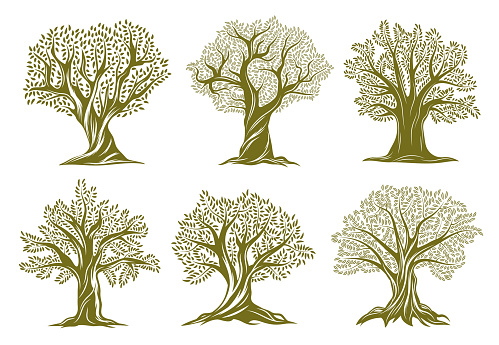 Old olive, willow or oak trees engraved icons. Trees with twisted trunk and branches, big crown, green foliage and exposed roots vector set. Garden, farm orchard or forest ancient plant silhouette