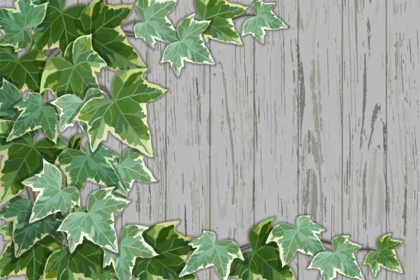 ilustrações de stock, clip art, desenhos animados e ícones de old rustic wooden wall half covered by common ivy - ivy building