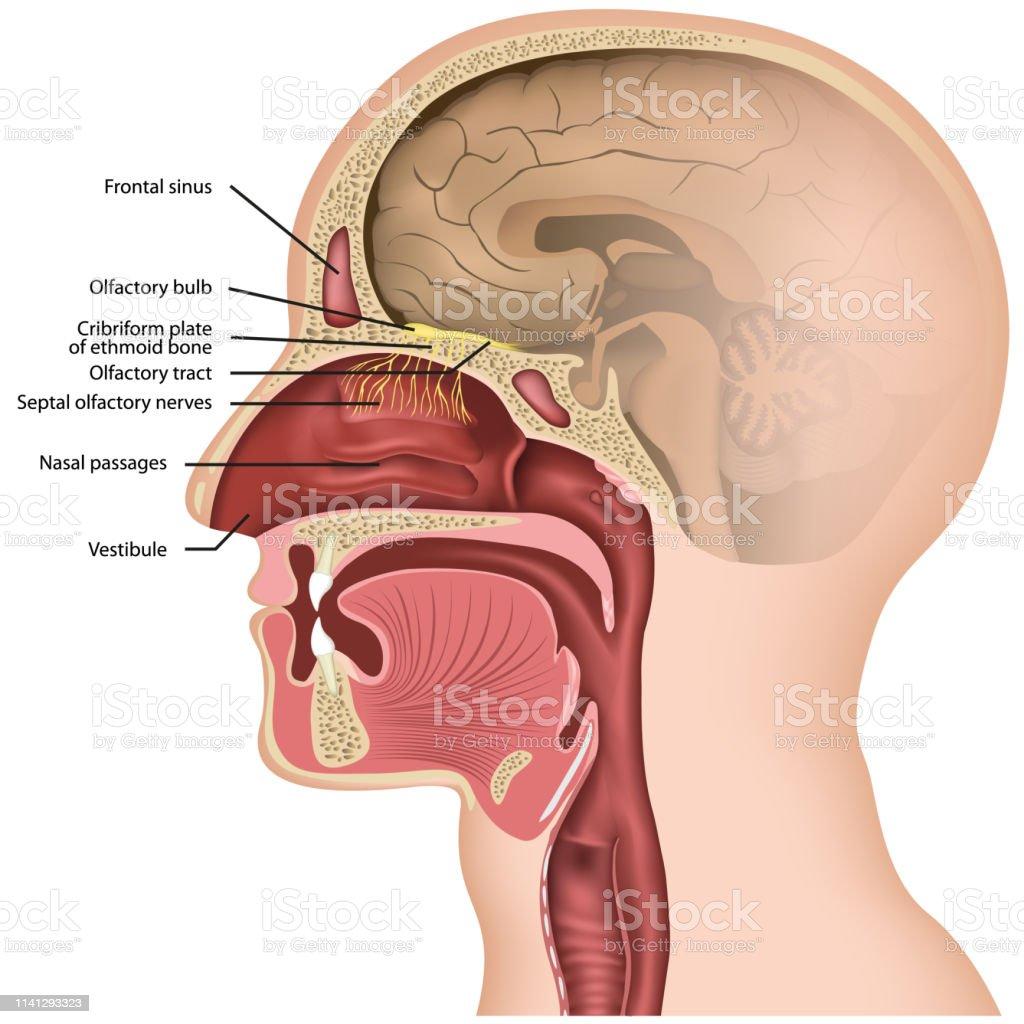Olfactory nerve medical vector illustraton on white background Olfactory nerve medical vector illustration on white background eps 10 Anatomy stock vector