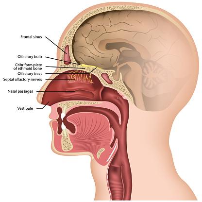 Olfactory Nerve Medical Vector Illustraton On White Background Stock Illustration - Download Image Now
