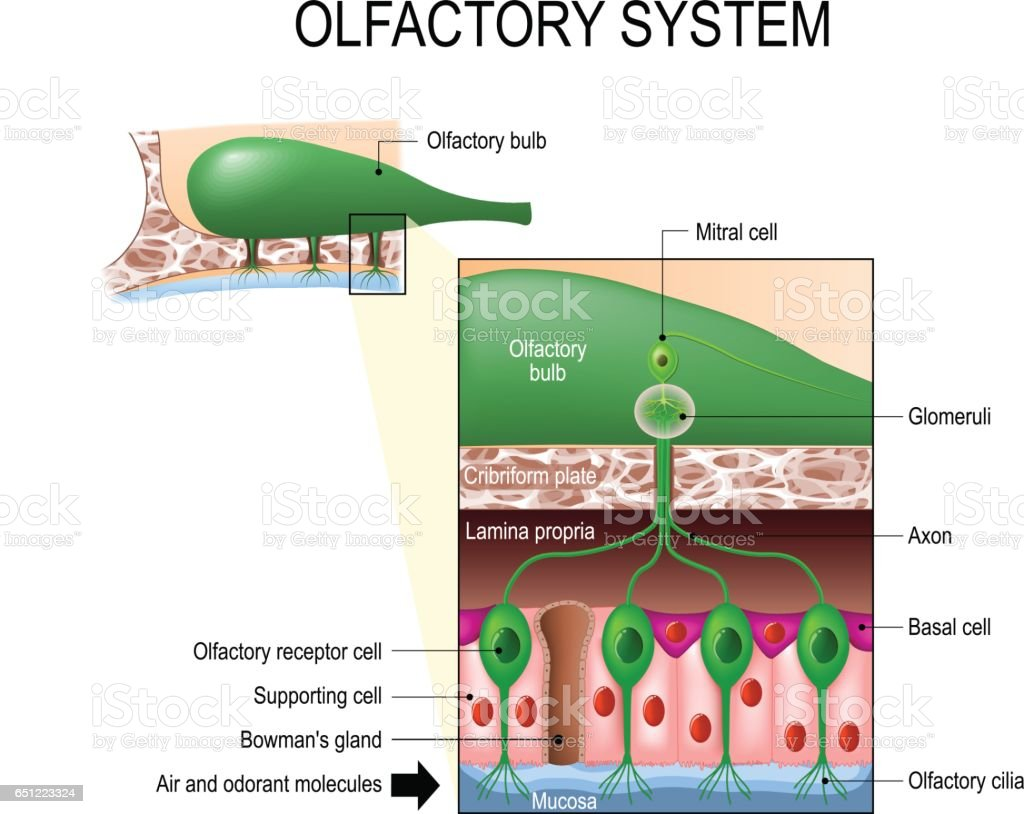 Olfactory System Sense Of Smell Human Anatomy Stock Vector Art